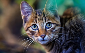 Picture cat, eyes, cat, look, kitty, background, portrait, muzzle, striped, the expression