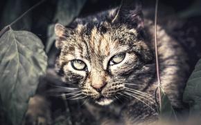 Picture look, background, Wildcat