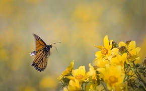Picture flowers, background, in flight, yellow. butterfly