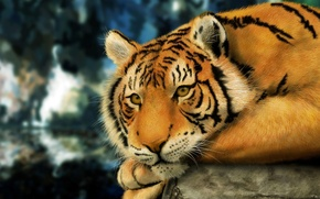 Picture look, pose, stone, Tiger, wool