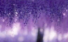 Picture macro, flowers, glare, blur, purple, lilac, bokeh, Wisteria, Wisteria, curtains spring