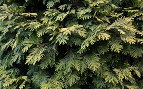 Picture green, leaves, tree, plant, pine