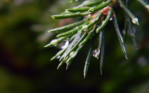 Picture drops, macro, Spruce