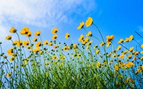 Picture the sky, flowers, stem, kosmeya
