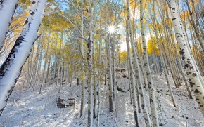 Picture forest, leaves, the sun, rays, snow, trees, slope, Colorado, USA, aspen, Aspen