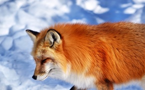 Picture snow, animal, muzzle, Fox, red, Fox