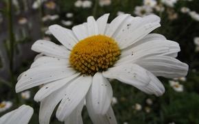 Picture macro, yellow, photo, Flower, petals, Daisy