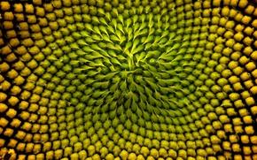 Picture sunflower, Colorado, USA, sunflower, inflorescence, Boulder
