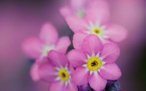 Wallpaper macro, flowers, pink