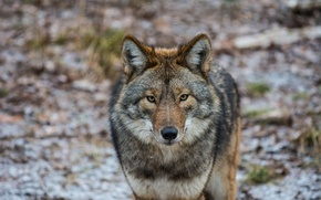 Picture look, Coyote, American wolf