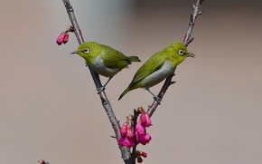Picture birds, buds, branches