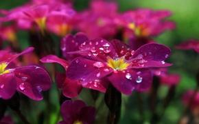 Picture drops, flowers, Rosa, petals, flowerbed