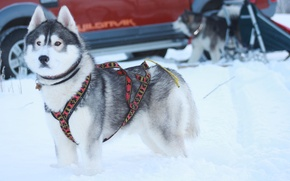 Picture husky, dogs, winter