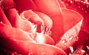 Picture flower, drops, macro, flowers, Rosa, rose, roses, petals, Bud, Wallpaper from lolita777