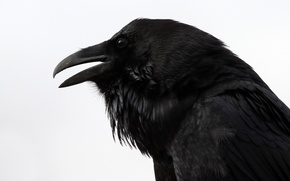 """Picture Raven, looks, the, Raven, """"Nevermore"""", """"Quoth"""
