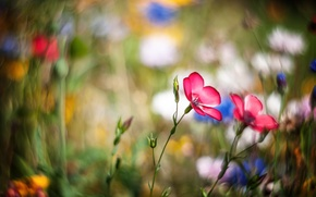 Picture flowers, meadow, pink, bokeh