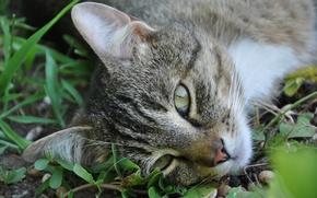 Picture grass, cat, Kote