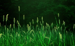 Wallpaper morning, rays, light, nature, spikelets, freshness, field, landscapes fields, grass, ears, forest