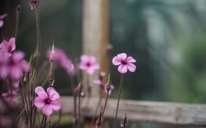 Picture macro, flowers, blur, window, pink, Oxalis
