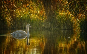 Picture lake, pond, reed, Swan