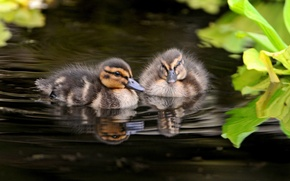 Picture photo, Animals, Ducklings, Birds