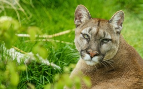Picture cat, look, face, Puma, mountain lion, Cougar