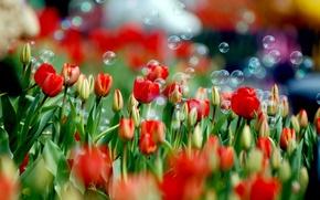 Picture flower, color, flowers, nature, paint, Tulip, spring, bubbles, tulips