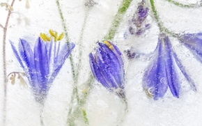Picture ice, nature, petals, frost, agapanthus