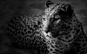 Wallpaper face, leopard, black and white Wallpaper