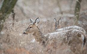 Picture winter, deer, wildlife, snowing
