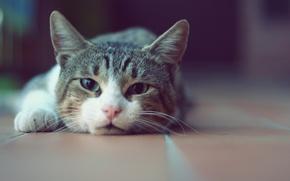 Picture cat, cat, face, Kote