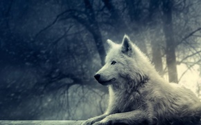 Picture fantasy, wolves, black and white pictures