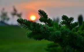 Picture macro, sunset, needles, spruce, blur, needles, coniferous