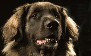Picture eyes, face, Dog, Leonberger