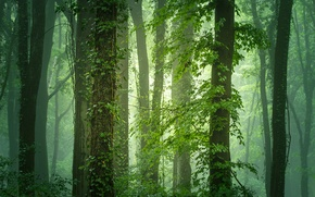 Picture greens, forest, trees, branches, fog, foliage