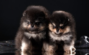 Picture puppies, Duo, breed, Spitz