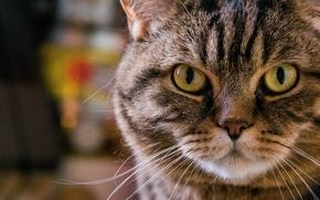Picture cat, portrait, mustache, look, face, cat