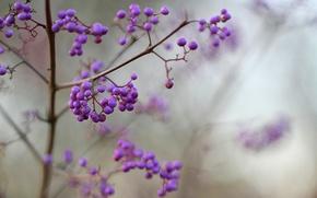 Picture macro, berries, focus, blur, purple, lilac, Purpleberry, Callicarpa, Shrub