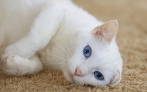 Picture cat, look, carpet, lies, white, ears