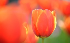 Picture flower, macro, orange, Tulip