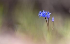 Picture flower, blue, blur, buds