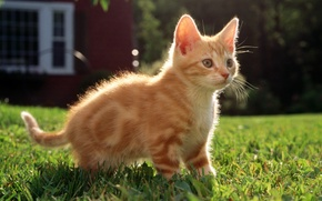 Picture cat, grass, cat, house, kitty, red, striped, cat