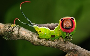 Picture caterpillar, nature, branch, insect