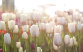 Picture field, light, flowers, tulips, light, field, flowers, tulips