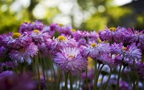 Picture Flowers, Garden, Summer, Chrysanthemum