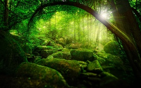 Picture greens, forest, the sun, rays, trees, nature