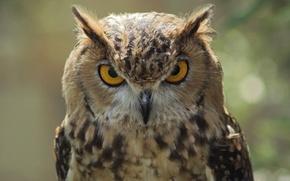 Picture look, owl, bird, harsh