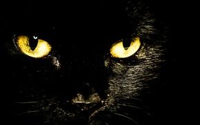 Picture cat, eyes, look, black
