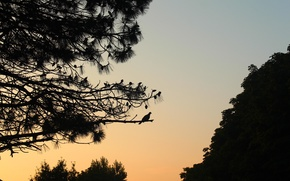 Picture abstraction, dove, contour, silhouette, pine