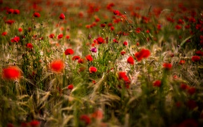 Picture flowers, Maki, meadow, photographer, red, ears, bokeh, Filimonov